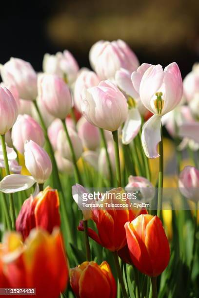Close-Up Of Tulips On Field