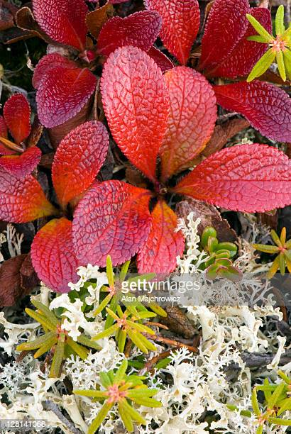 Closeup of tundra plants in autumn color. Yukon, Canada