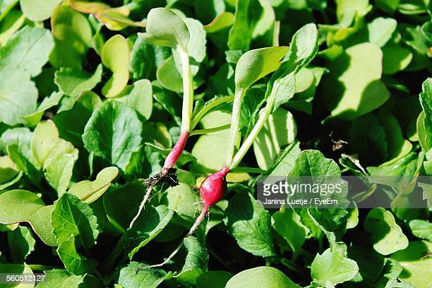 close-up of turnips crop in field - turnip stock pictures, royalty-free photos & images
