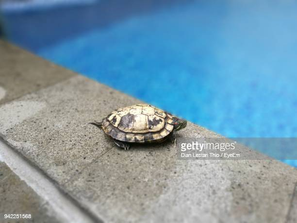 Close-Up Of Turtle At Poolside