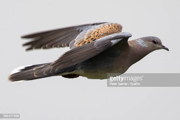 close-up of turtle dove flying against clear sky - turtle doves stock photos and pictures