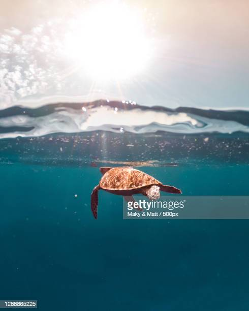 close-up of turtle in sea,indonesia - indonesia stock pictures, royalty-free photos & images