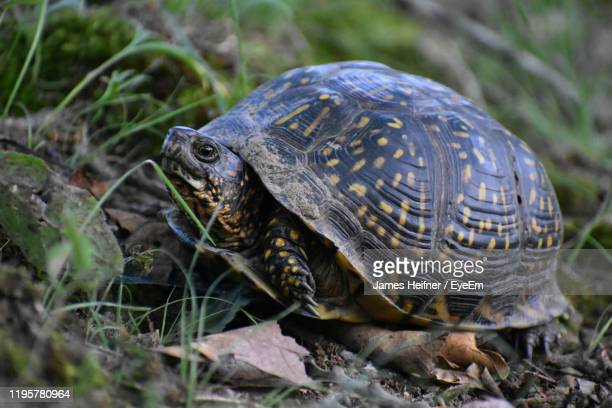close-up of turtle on field - box turtle stock pictures, royalty-free photos & images
