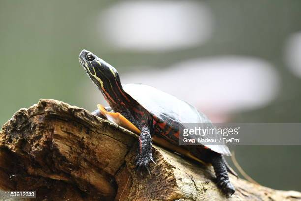 Close-Up Of Turtle On Wood