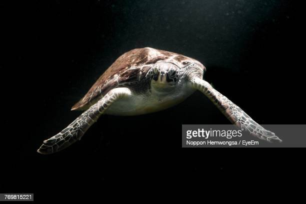Close-Up Of Turtle Swimming Against Black Background