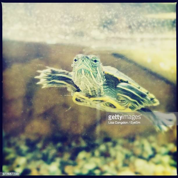 close-up of turtle swimming in aquarium - transferbild stock-fotos und bilder