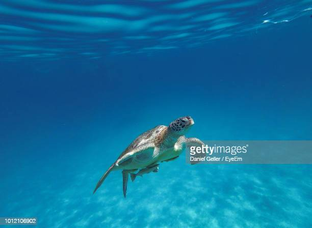 close-up of turtle swimming in sea - tortue photos et images de collection