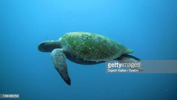 Close-Up Of Turtle Swimming In Sea