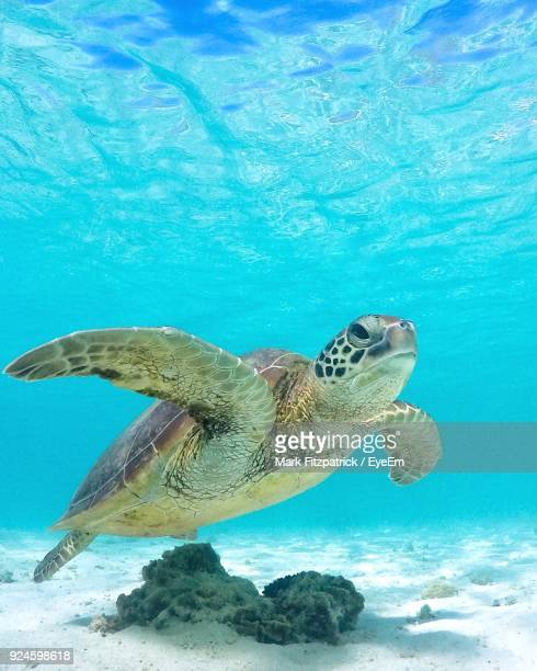 close-up of turtle swimming in sea - sea turtle stock pictures, royalty-free photos & images