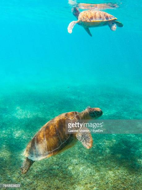 close-up of turtles swimming in sea - threatened species stock photos and pictures