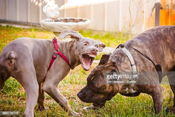 Close-Up Of Two Aggressive Dogs Outdoors