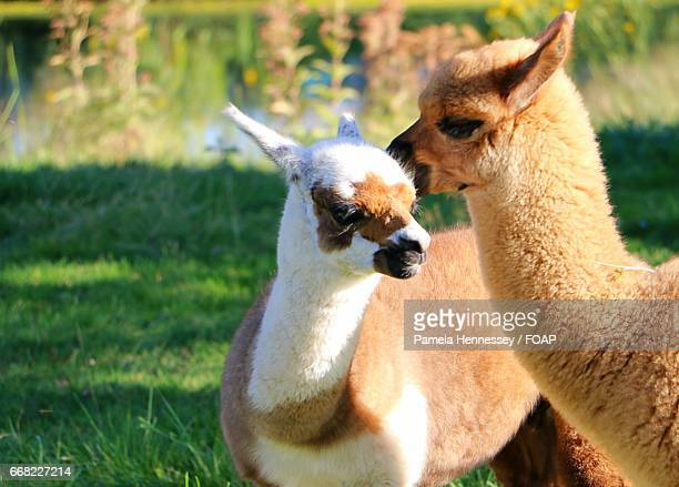 Close-up of two alpaca