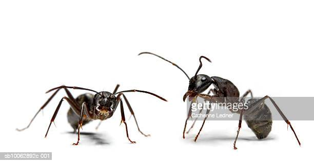 close-up of two ants, studio shot - ants stock pictures, royalty-free photos & images