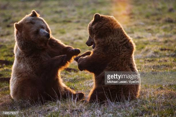 Close-Up Of Two Bears Playing