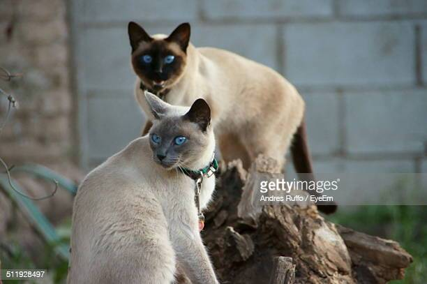 close-up of two cats with blue eyes - andres ruffo bildbanksfoton och bilder