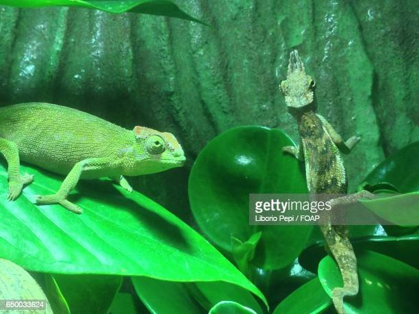 close-up of two chameleon - liborio pepi stock-fotos und bilder