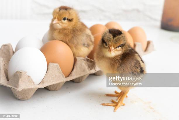 Close-Up Of Two Cute Chicks