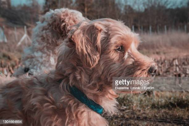 close-up of two dogs looking away - norfolk terrier photos et images de collection