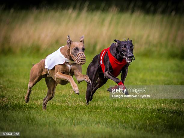 Close-Up Of Two Dogs Running On Grassy Field