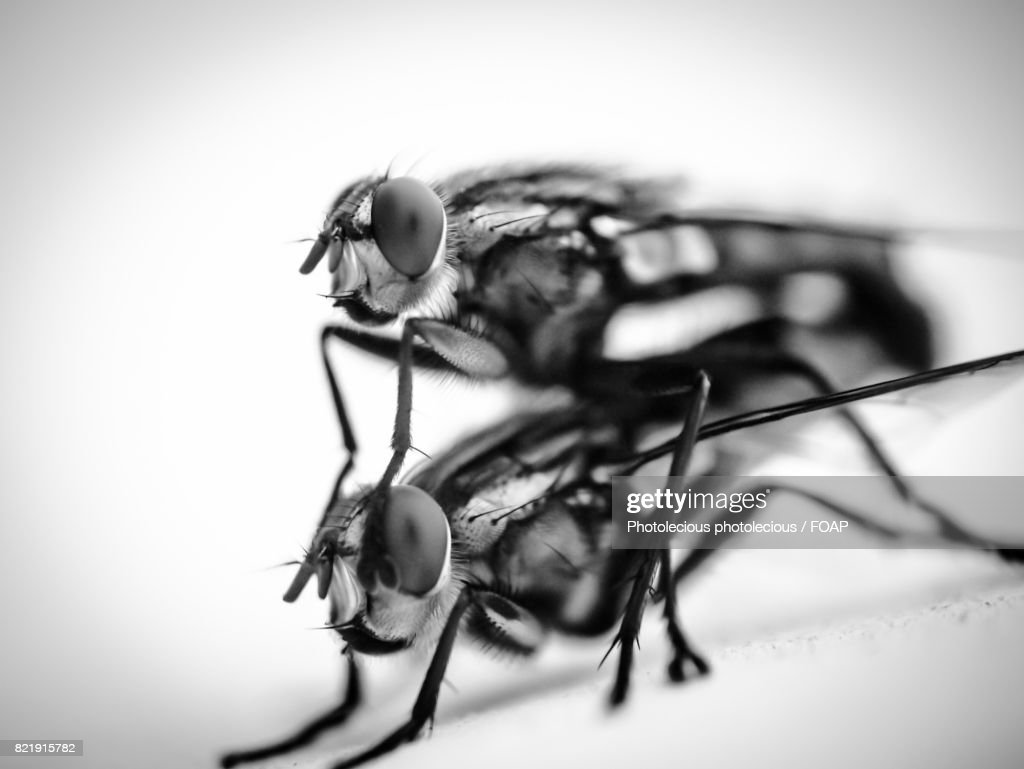 Close-up of two flies : Stock Photo