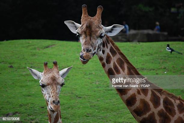 Close-up of two giraffes