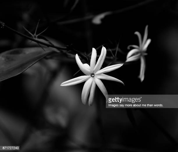 a close-up of two jasmines in black and white - jasmine stock photos and pictures