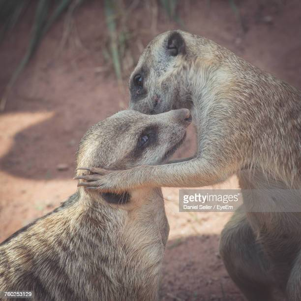 Close-Up Of Two Meerkats