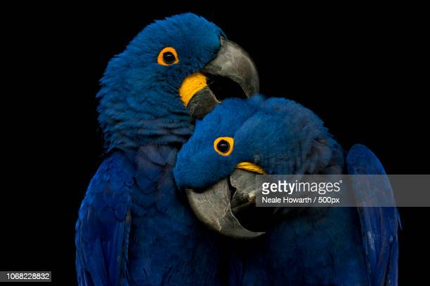 close-up of two parrots - two animals stock pictures, royalty-free photos & images