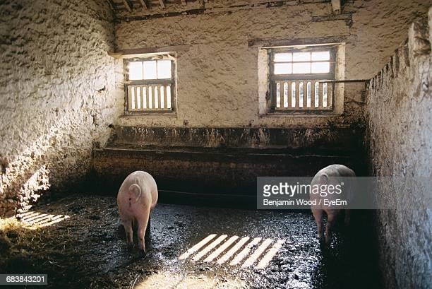 close-up of two pigs in a farm house - pig in shit stock pictures, royalty-free photos & images