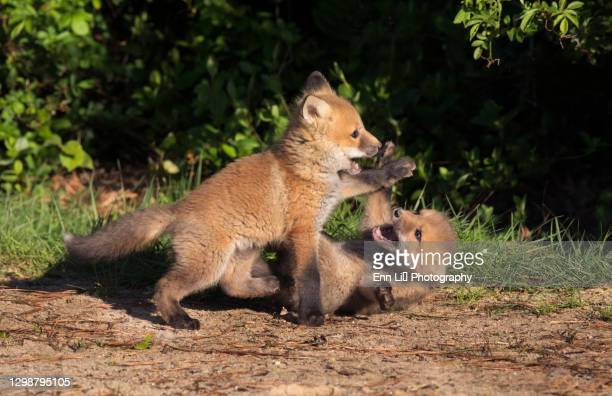 close-up of two playful red fox kits - funny animals stock pictures, royalty-free photos & images