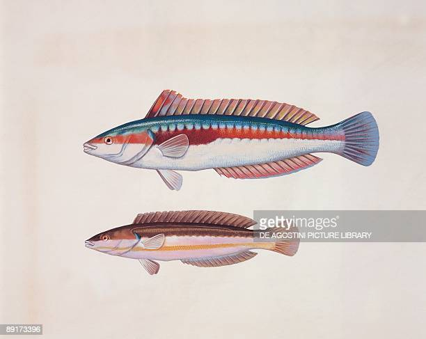 Closeup of two rainbow wrasse fish
