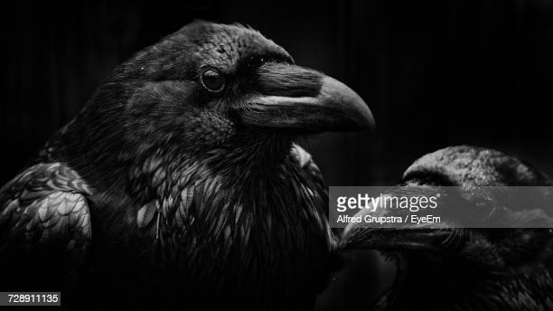 close-up of two ravens - crow bird stock photos and pictures