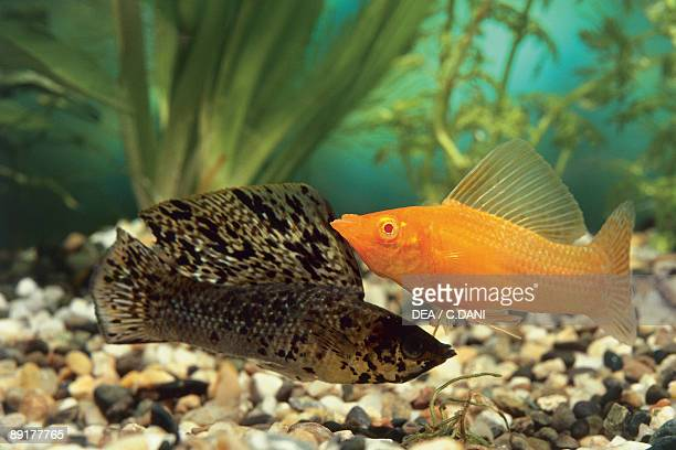 Closeup of two Sailfin Molly fish swimming underwater