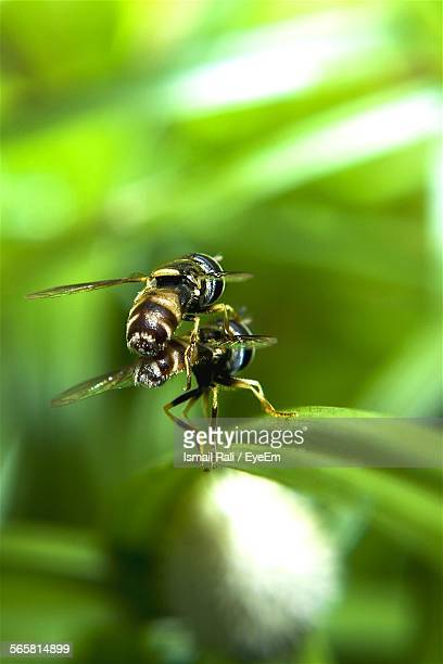 Close-Up Of Two Wasp Mating On Leaf