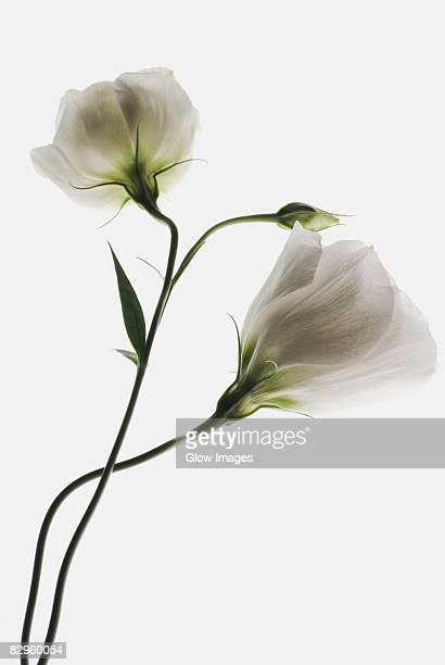 close-up of two white flowers - bud stock pictures, royalty-free photos & images