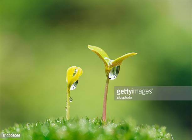 Close-up of two young sprouts with morning dew drops. Yokohama, Kanagawa Prefecture, Japan