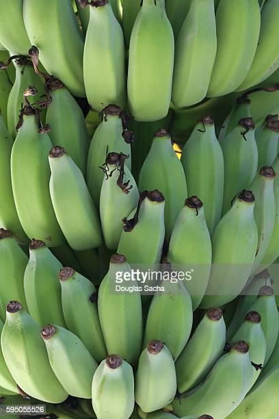 Close-up of unripe Bananas (Musa acuminata)