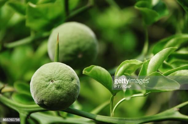 Close-up of unripe orange