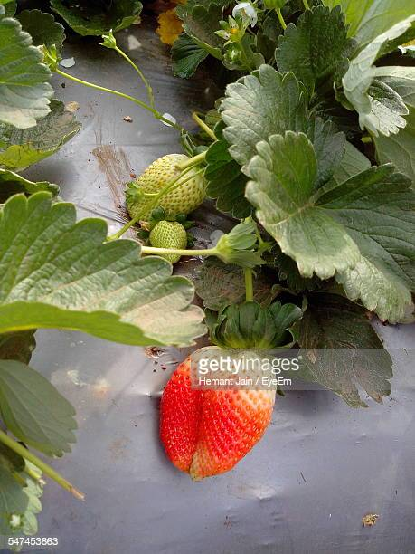 Close-Up Of Unripe Strawberry Hanging On Plant At Farm