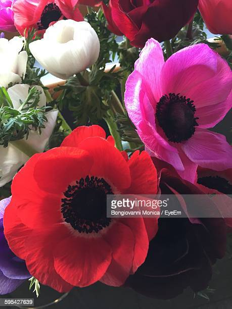 Close-Up Of Various Anemone Flowers At Home