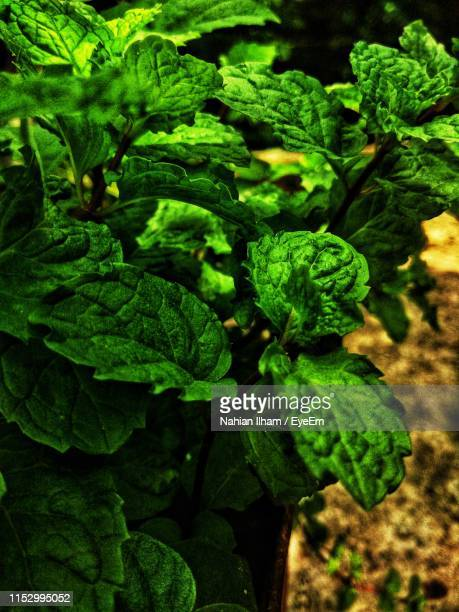 close-up of vegetables growing outdoors - savar stock pictures, royalty-free photos & images