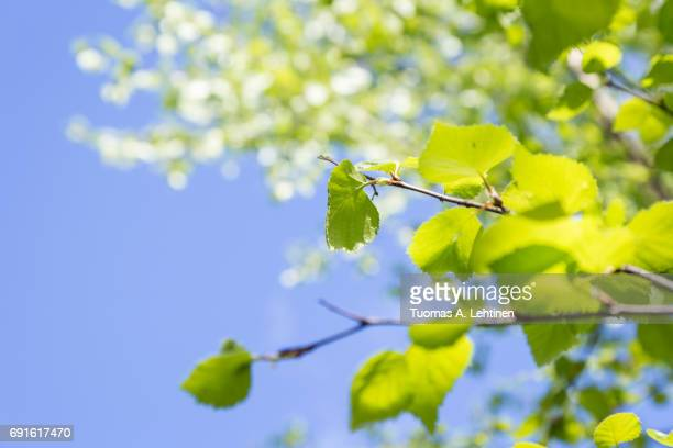 Close-up of verdant leaves in a birch in the springtime. Blue sky background.