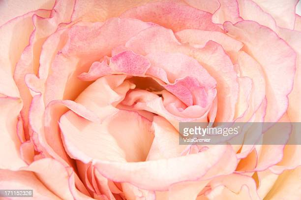 Closeup of very-double pink rose.