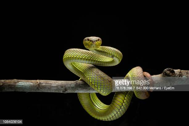 close-up of viper on tree against black background - snake stock pictures, royalty-free photos & images