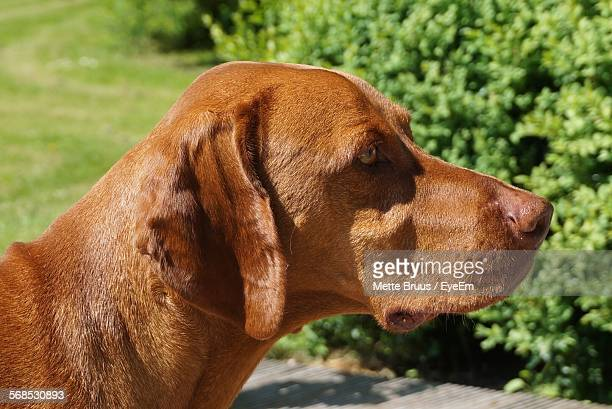 Close-Up Of Vizsla Standing In Lawn