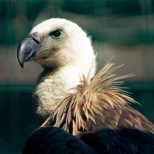 Close-up of vulture of prey,Germany