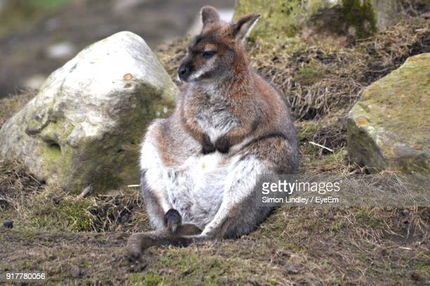 Close-Up Of Wallaby Sitting Outdoors