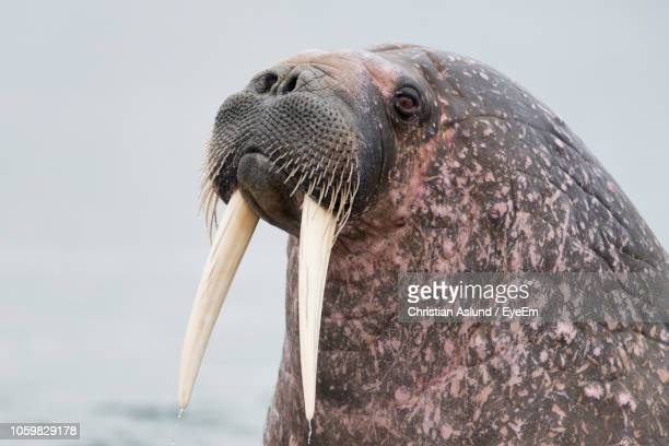 close-up of walrus against sky - walrus stock pictures, royalty-free photos & images