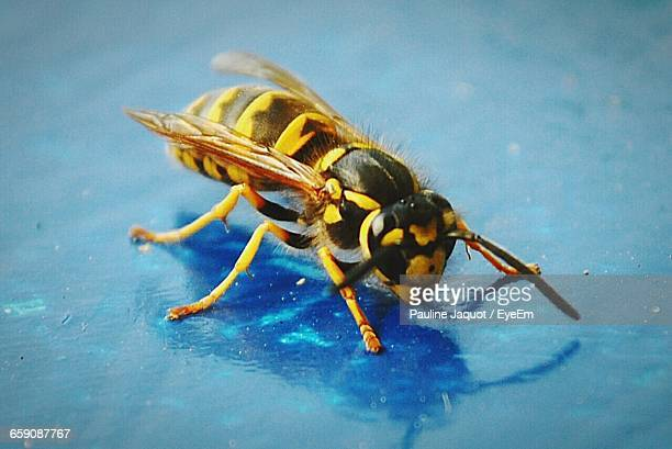 Close-Up Of Wasp On Blue Surface