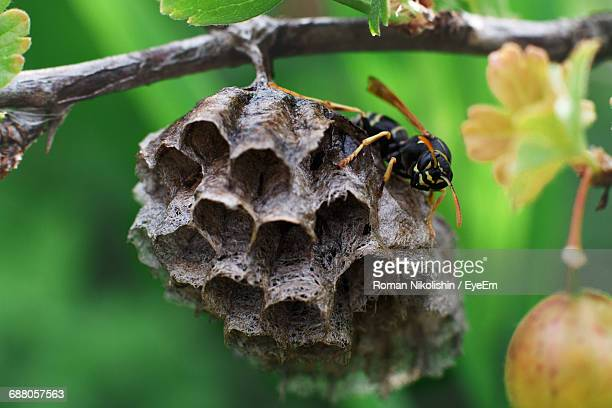 Close-Up Of Wasp On Honeycomb